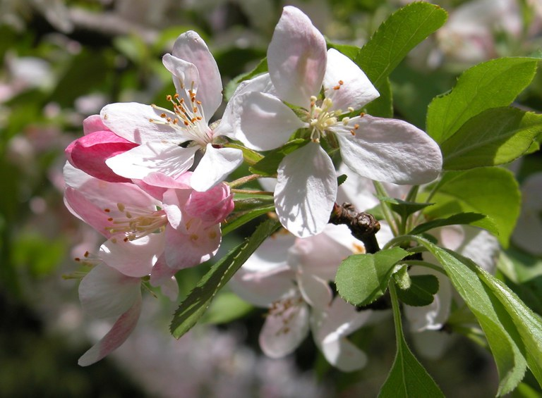 Crabapple blossoms at the Penn State University Park campus. IMAGE: SARA KLEE