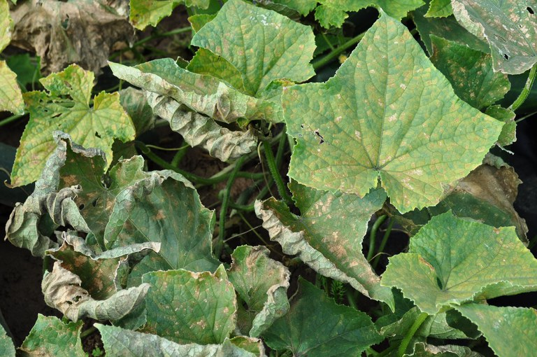 Characteristic angular spots caused by downy mildew on cucumber, as the disease progresses the leaves shrivel and curl upward. IMAGE: BETH GUGINO