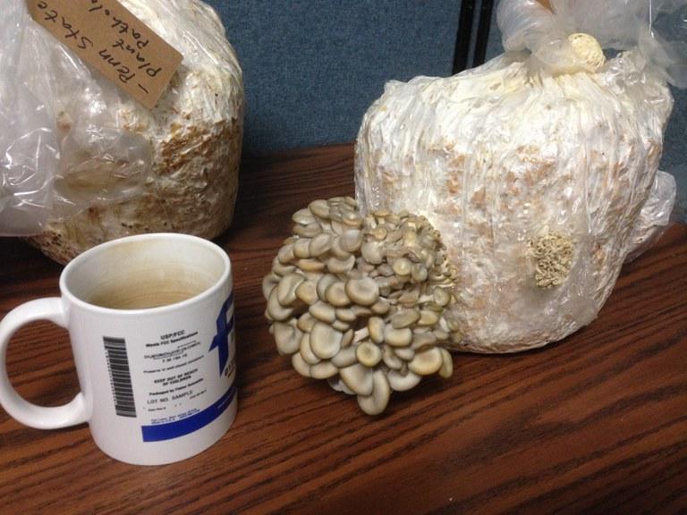 Oyster Mushroom Grow-Kits | Credit: Justin Shih, Penn State