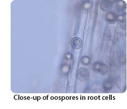 Close-up of oospores in root cells
