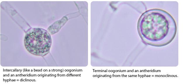 Oospore with intercallary antheridium