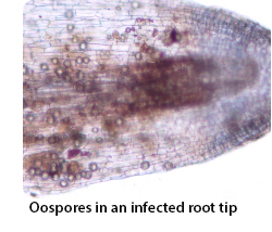 Oospores in an infected root tip
