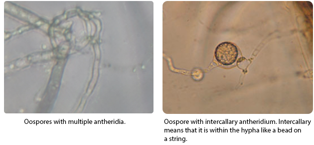 Oospores with multiple antheridia