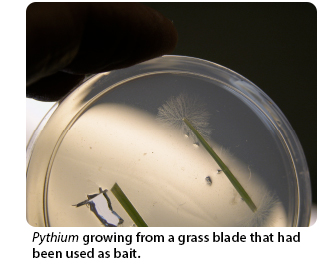 Pythium growing from a grass blade that had been used as bait.