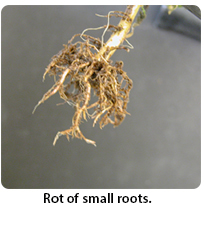 Rot of small roots