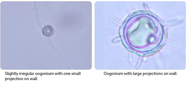 Slightly irregular oogonium