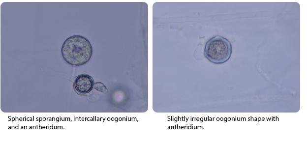 Spherical sporangium