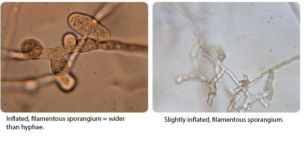 Terminal oogonium and an antheridium originating from the same hyphae = monoclinous.