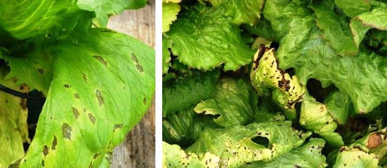 bacterial-leaf-spot.jpg