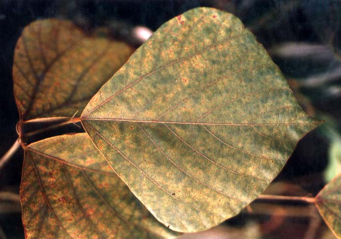Rust Infected leaf