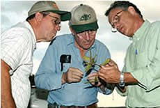 Leaf lesions helped Ray Schneigher (right) discover soybean rust in Louisiana. [Source: Science 306:3, December 2004]