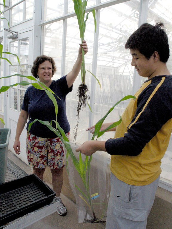Bag it and tag it...  Gretchen Kuldau holds up a corn plant extracted for laboratory examination.